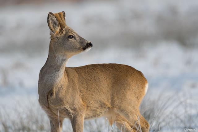 Roe deer in winter scenery