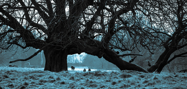 The Giant Horse Chestnut - on a frosty morning?