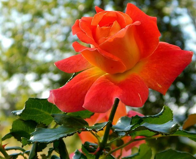 Róża* EXPLORE