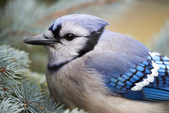 Sigma 100-400mm f/5-6.3 DG DN OS Contemporary Lens and a Blue Jay Close Encounter