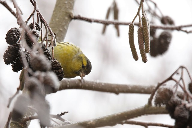 The Eurasian siskin (Spinus spinus)