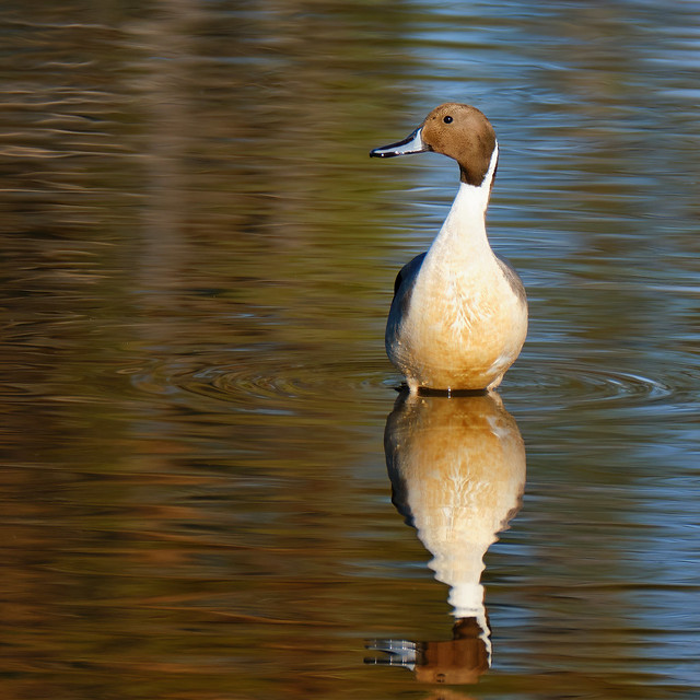 Northern Pintail at sunset