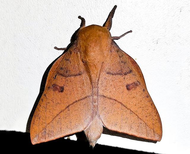 Adeloneivaia catharina