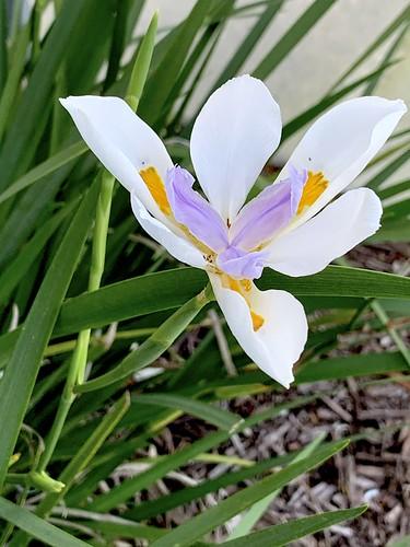 flora florida iris