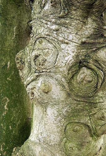 bark of a Holly tree