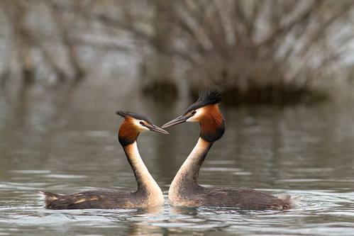 This great crested grebe couple would look perfect on a Valentine's Day card! Photographer Paul Sorrell