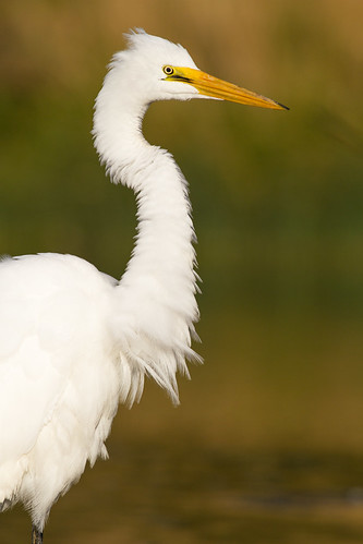 A white heron or kotuku fluffs out its feathers. Hawksbury Lagoon. Photographer Paul Sorrell