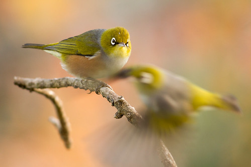 Silvereye fly-by. Photographer Paul Sorrell