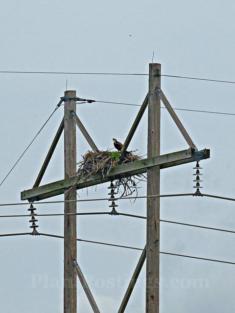 ospreys 1