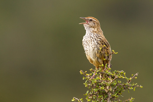 A fernbird calls from the top of a coprosma bush. Photographer Paul Sorrell
