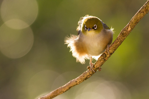 This silvereye is attractively backlit by the late afternoon sun. Photographer Paul Sorrell