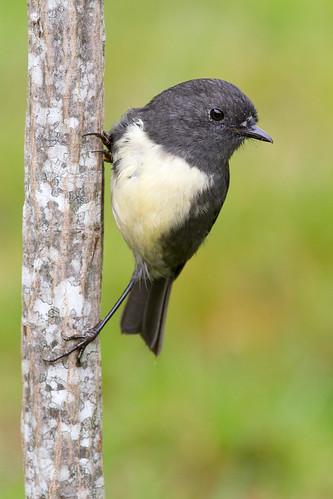 A South Island robin perches on a lancewood sapling. Photographer Paul Sorrell