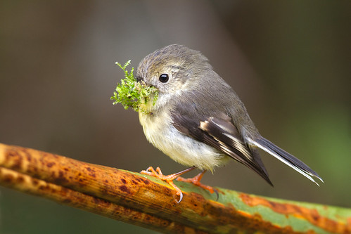 A South Island tomtit collects moss to line her nest. Photographer Paul Sorrell