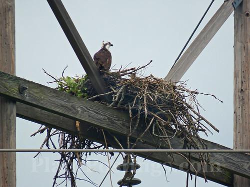 ospreys 5