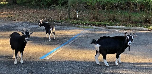 50909887496 94e379a6a2 z Escaped goats wandering