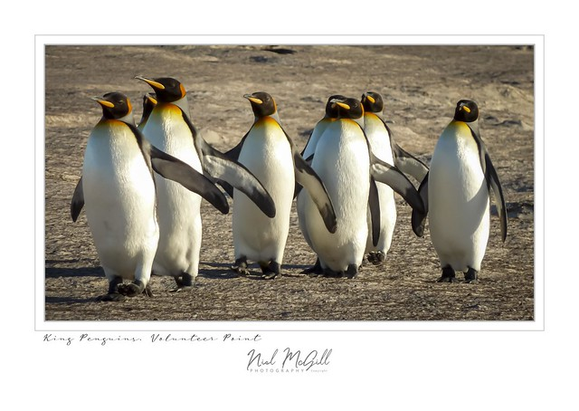 Volunteer-King Penguins Dunes 9 - 7 x 5