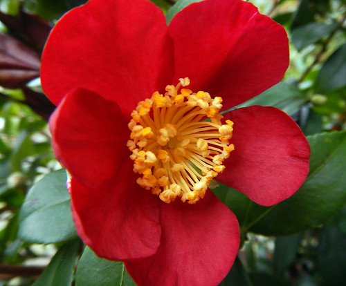 Confused red Camellia in bloom in early January in Vancouver, Canada