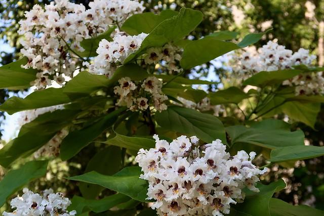 Catalpa speciosa in blossom