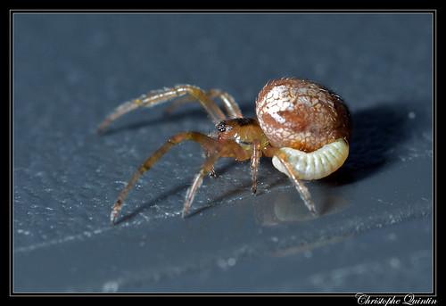 Larve d'Ichneumonidae/Pimplinae parasitant Zygiella sp.