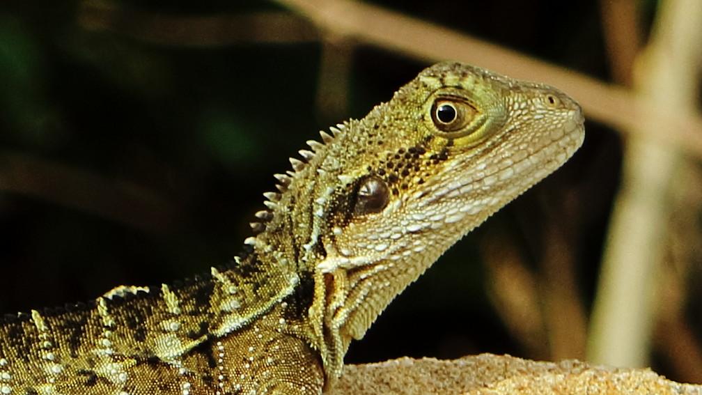 Here's an Australian Water Dragon Lizard looking at you kid!