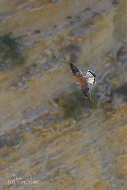 Lesser Kestrel_(Falco naumanni)_male flight Acantilado de Barbate Spain_w_2917