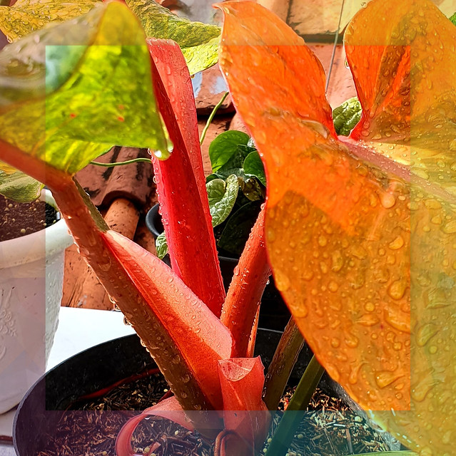PHILODENDRON THREE COLOURS