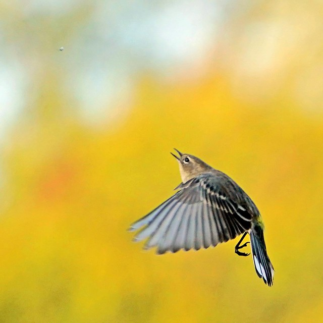 Yellow-rumped Warbler catching bugs. Oct4