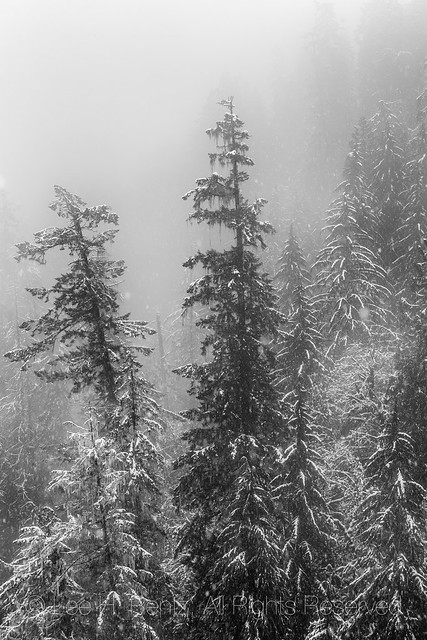 Conifer Forest on the Olympic Peninsula