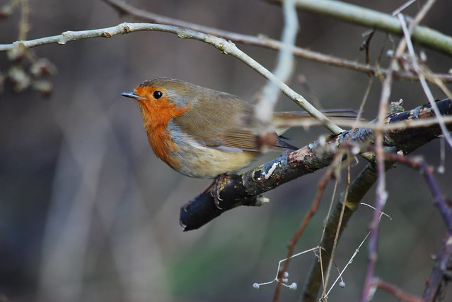 Robin in the bushes ......