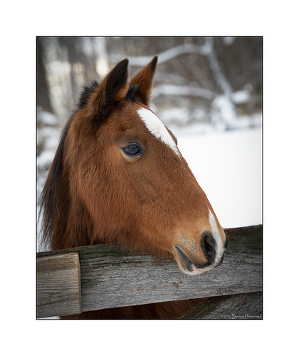 holly hackney pony snow storm 3february2021 portrait gate fence littledoglaughedstories crazytuesday soft woolly