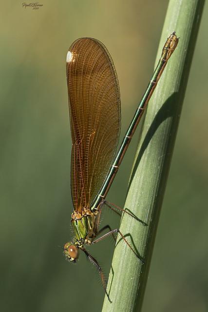 Calopteryx haemorrhoidalis (Vander Linden, 1825)
