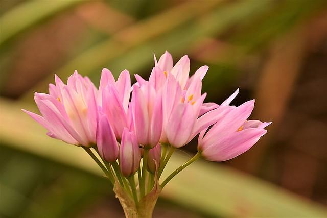 Rosy Garlic  (Allium roseum)