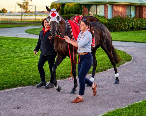 luminosity7 nikond850 launceston tasmania australia mowbrayracecourse lookatthecamera mysticjourneyracehorse mountingyard sunsetlight colour horse horseracing thoroughbredhorseracing