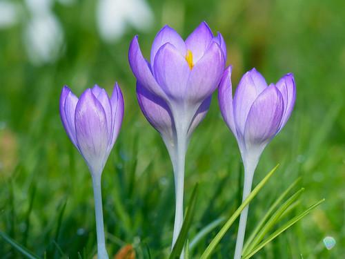 alfriston crocus springbulbs eastsussex englanduk flowers lilacflowers