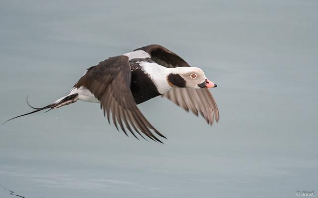 Lodówka/Long-tailed duck