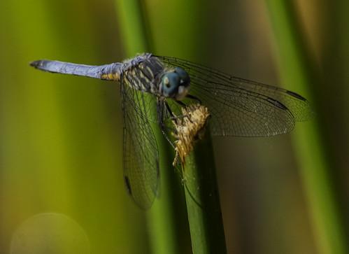 dragonfly santeelakes blue bluedarter nature naturephotography