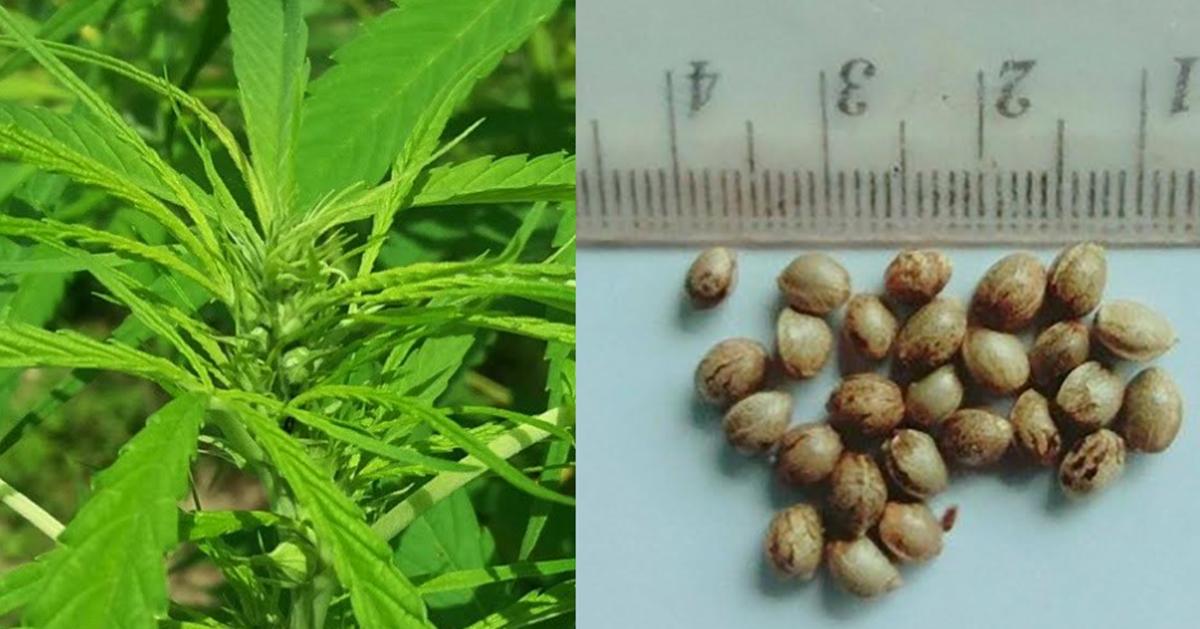 เผยโฉม 'อิสระ 01' กัญชาพันธุ์แรกผ่านเกณฑ์พันธุ์พืชขึ้นทะเบียนของไทย