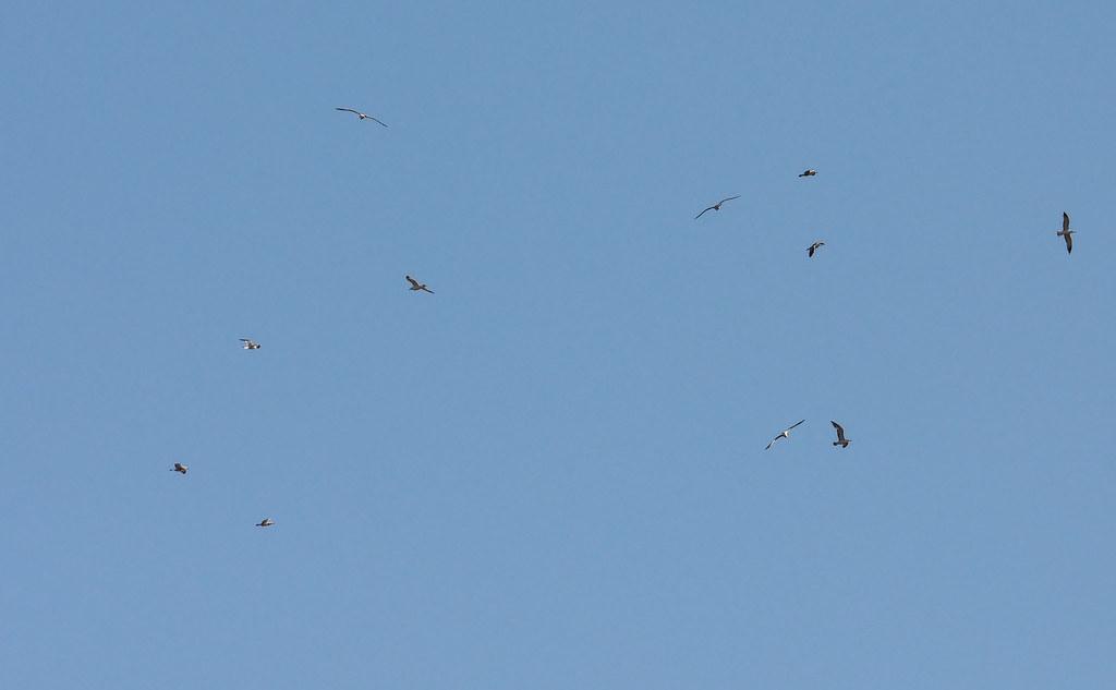 чайки / gulls 20200503__DSC5879