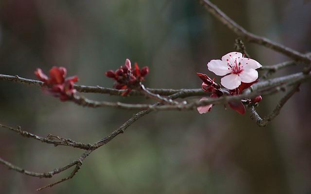 20210130 purple-plum-blossom