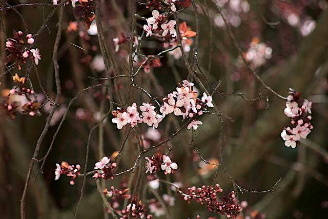 20210203 purple-plum-blossoming