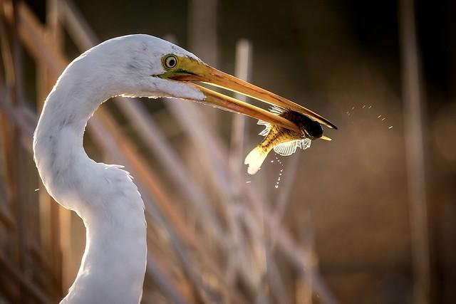 Great Egret - Southern Utah
