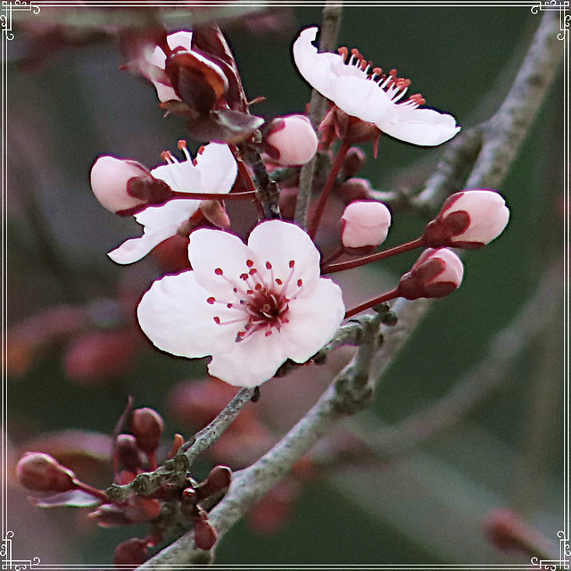 20210130 purple-plum-blossoms-detail