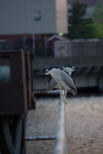 bird water charlesriver bokeh blur city river wildlife funny xmen heron blackcrownednightheron nature