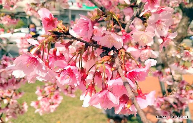 Cherry blossoms at 東湖樂活公園, Taipei, Taiwan,SJKen, Feb 4, 2021.
