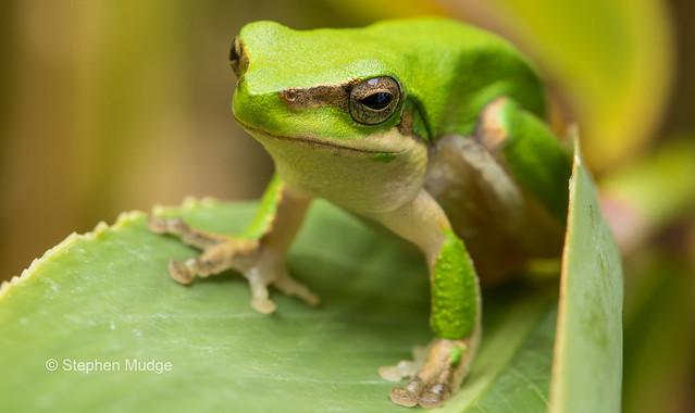 Dwarf Tree Frog