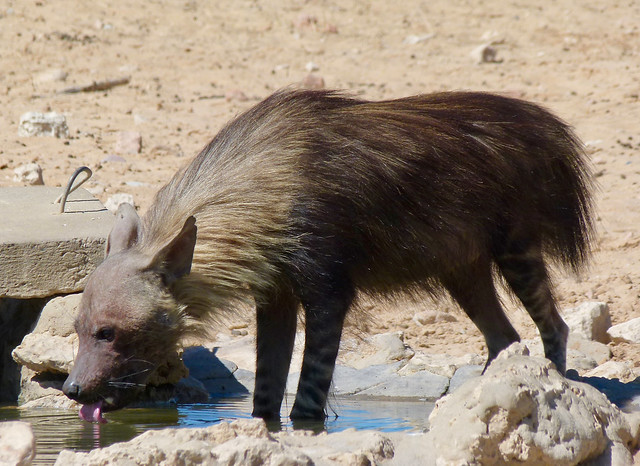 Brown Hyena (Hyaena brunnea) drinking ...