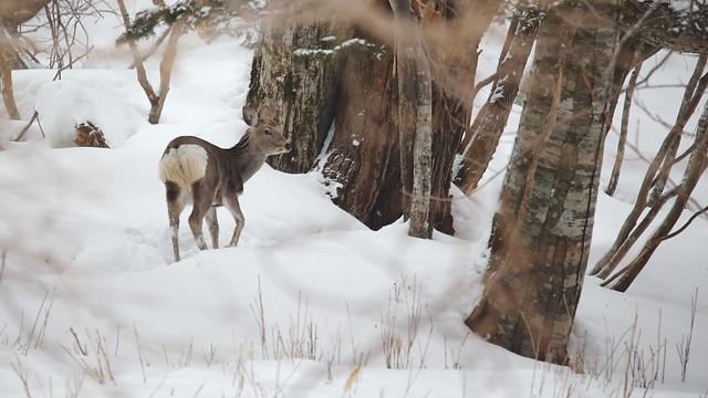 Wild Yezo sika deers.