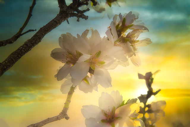 Almond blossoms, hope for a new beginning.