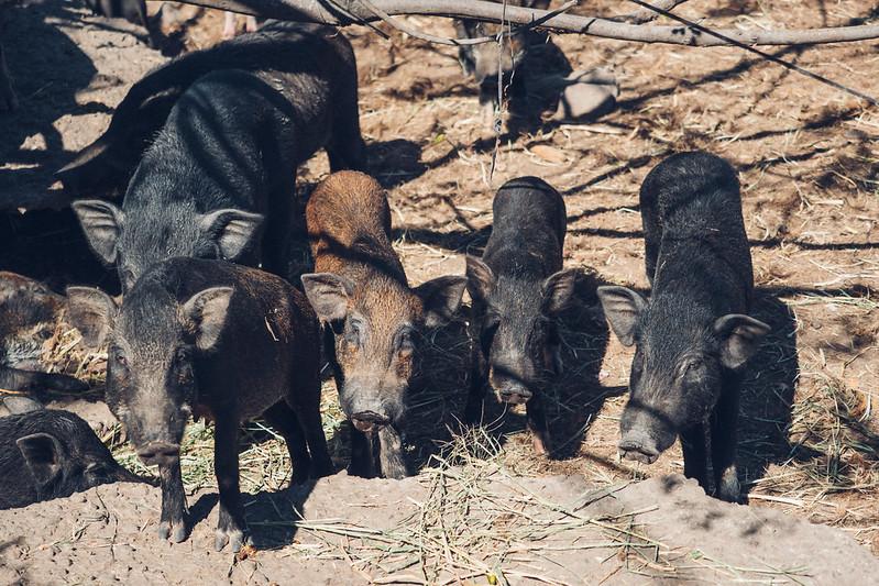 台東的豬|Taitung's pigs.