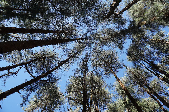 Pine Canopy @Orakutimund,Ooty,TamilNadu.